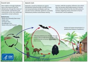 El origen del virus del ébola está en los murciélagos - Imagen de Dominio Público del CDC