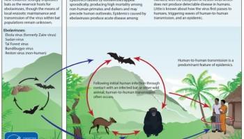 Como se transmite el ebola