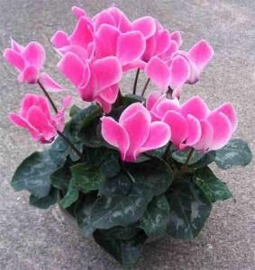 Ciclamen, la flor del invierno