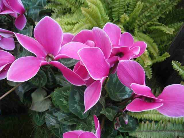 Ciclamen, la planta más alegre del invierno