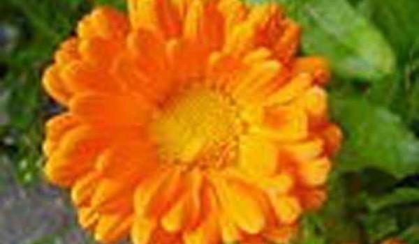 Flor Calendula_officinalis