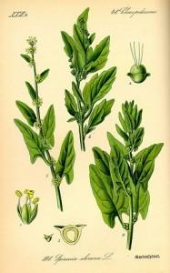 Espinacas. Grabado. Imagen Wikipedia