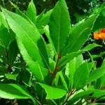 El laurel: propiedades, cosmética natural casera y cultivo