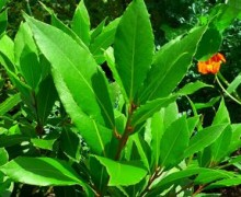 Propiedades de la planta laurel
