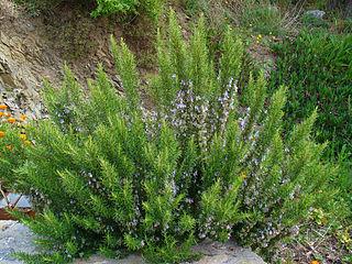 Planta romero, Rosmarinus officinalis: propiedades, usos cosméticos y cultivo