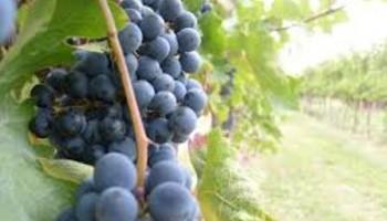 El vino, un gran aliado de la cosmética