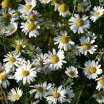 Beneficios de las flores de manzanilla