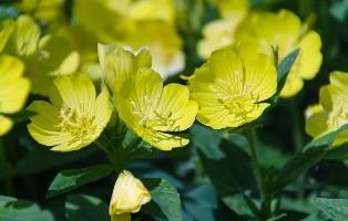 Flor de Onagra