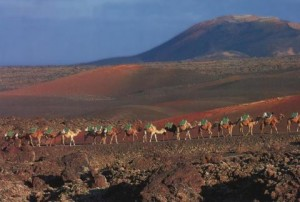 Timanfaya Camel Train