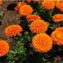 Caléndula: cuándo plantarla y cómo cuidarla
