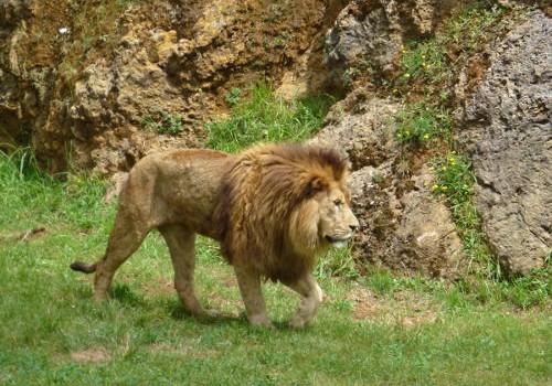 cabárceno león