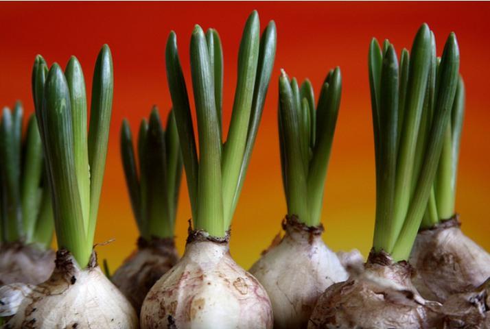 Consejos para plantar bulbos de oto o - Bulbos de otono ...