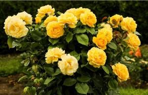 El jardín en otoño: Rosas.