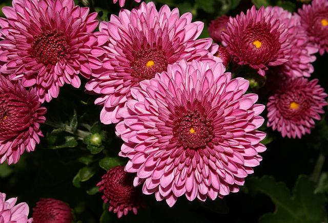 El crisantemo, entre las mejores flores de otoño