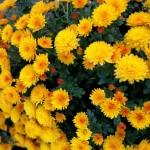 Cinco excepcionales flores de otoño recomendadas