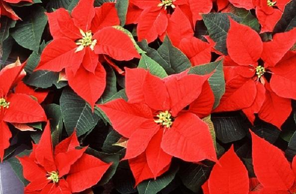 Flor de Navidad: origen, significado y cuidados