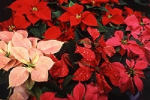 Distintos colores de la flor de pascua