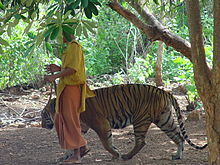 Un monje pasea a un tigre por el templo