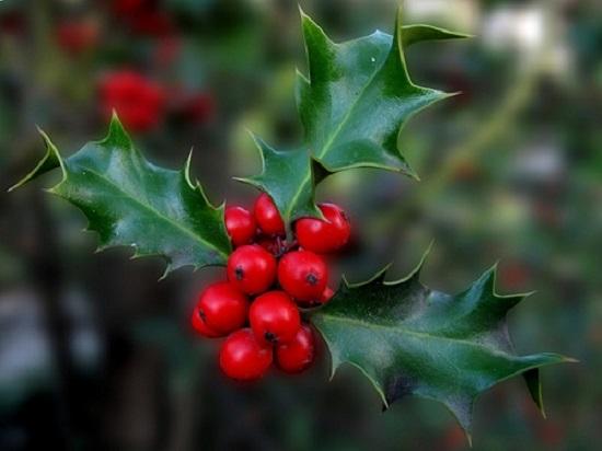 Plantas de Navidad: acebo y muérdago. Historia, simbología y leyenda