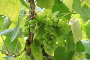 uva albariña