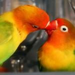 Agapornis: los pájaros del amor o inseparables