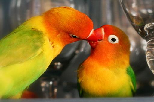 Agapornis fischer dándose un beso