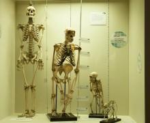 Esqueletos de humano y otros primates
