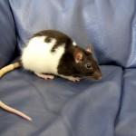 Una rata como mascota