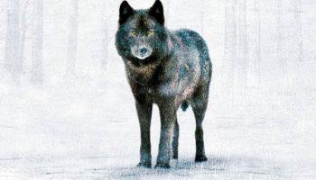 Un lobo en tiempos de Julio Cesar
