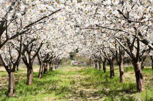 el-valle-del-jerte-celebra-la-fiesta-del-cerezo-en-flor1