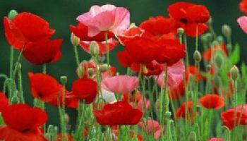 Beneficios para la salud y la belleza de las semillas de amapola