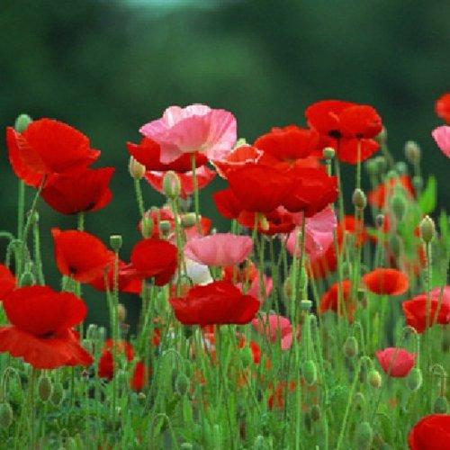 Semillas de amapola: propiedades, usos en cosmética, en cocina y cultivo de la planta Papaver Rhoeas, L.