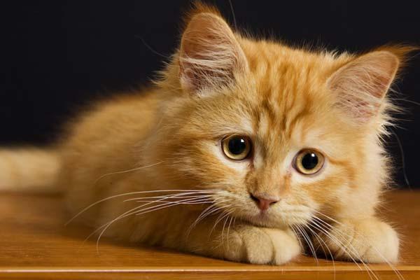 Gatoterapia, efectos terapéuticos para combatir el estrés de los gatos