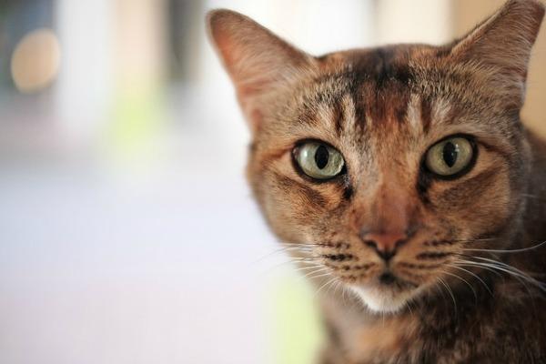 Ventajas de adoptar un gato en lugar de comprarlo