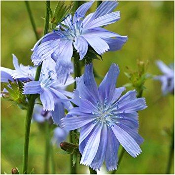 Achicoria o Cichorium intybus: propiedades, beneficios y usos
