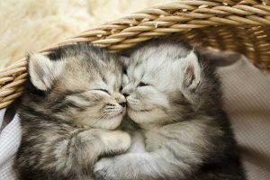 Los gatos tienen un oído y un olfato muy desarrollados