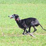 El galgo español: peculiaridades y consejos sobre este perro de raza pura