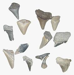 Docena de dientes fósiles de tiburón