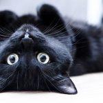 ¿Cómo se sabe si mi gato está en celo?