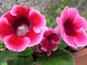 La campanilla si está expuesta en un lugar soleado se mantendrá permanentemente floreada