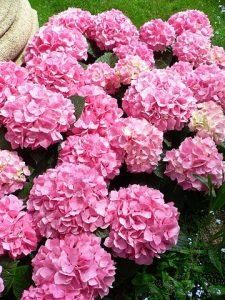 La hortensia es una planta con grandes tallos y flores